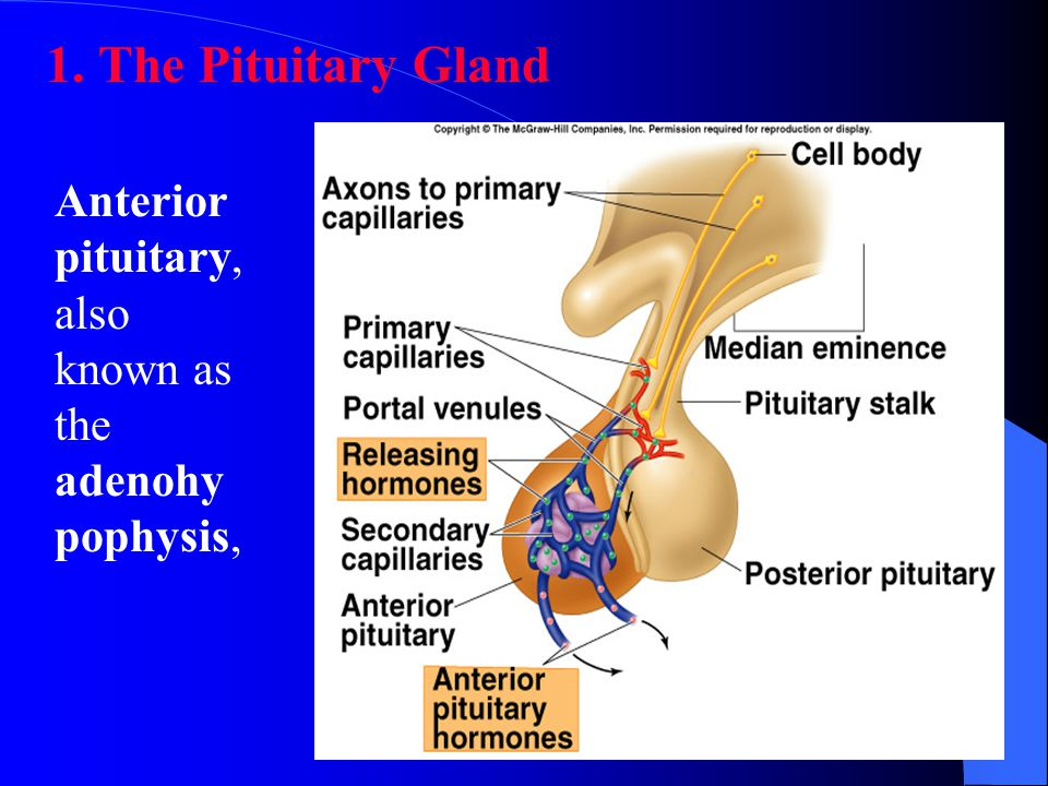 The Pituitary Gland Anterior pituitary, also known as the adenohypophysis,