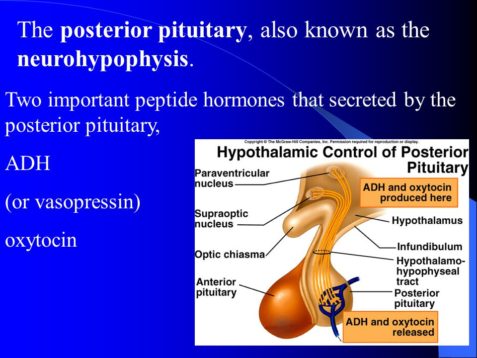 The posterior pituitary, also known as the neurohypophysis.