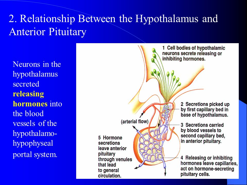 2. Relationship Between the Hypothalamus and Anterior Pituitary