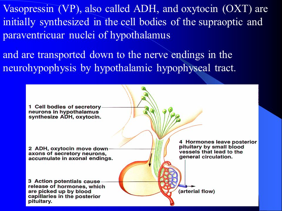 Vasopressin (VP), also called ADH, and oxytocin (OXT) are initially synthesized in the cell bodies of the supraoptic and paraventricuar nuclei of hypothalamus