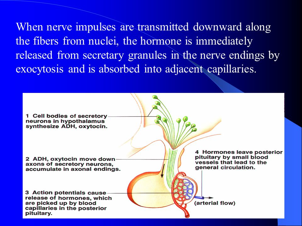 When nerve impulses are transmitted downward along the fibers from nuclei, the hormone is immediately released from secretary granules in the nerve endings by exocytosis and is absorbed into adjacent capillaries.