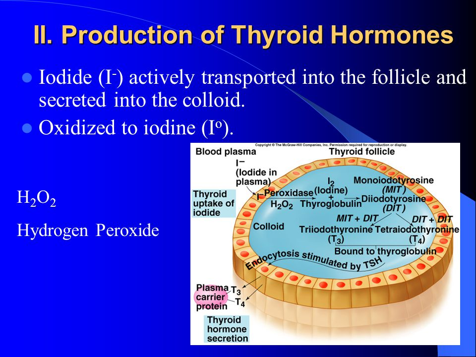 II. Production of Thyroid Hormones