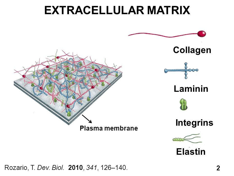 EXTRACELLULAR MATRIX Collagen Laminin Integrins Elastin