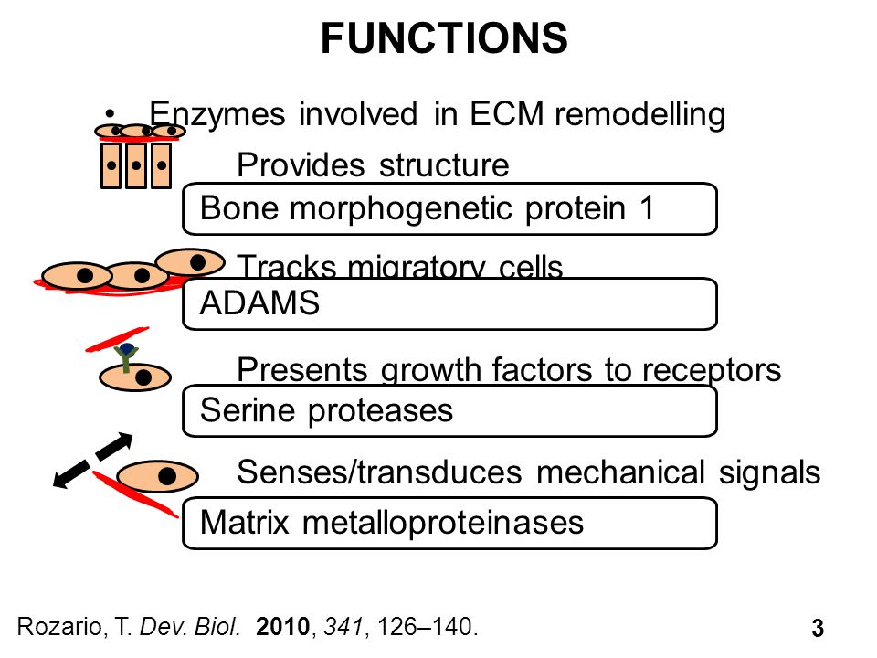 FUNCTIONS Enzymes involved in ECM remodelling Provides structure