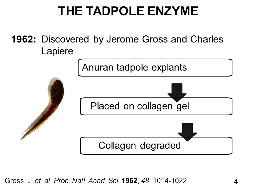 THE TADPOLE ENZYME 1962: Discovered by Jerome Gross and Charles Lapiere. Anuran tadpole explants.
