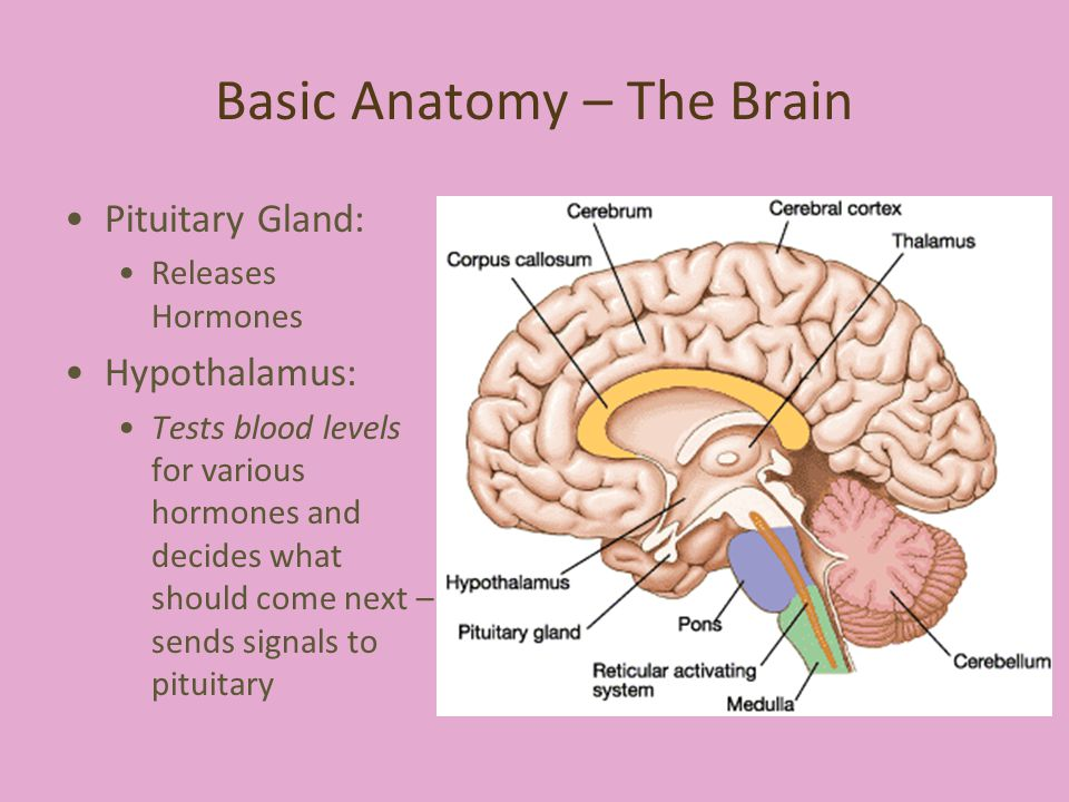 Basic Anatomy – The Brain