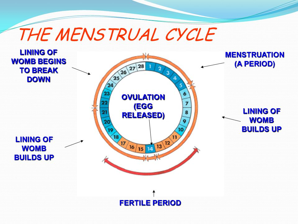 THE MENSTRUAL CYCLE LINING OF WOMB BEGINS TO BREAK DOWN
