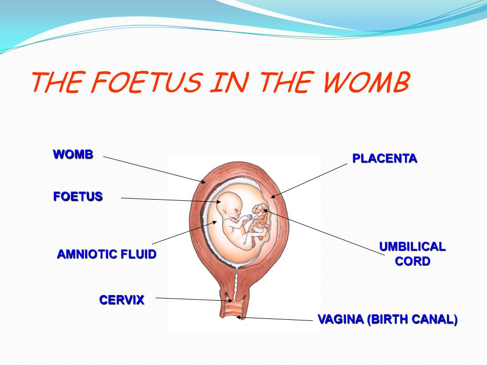 THE FOETUS IN THE WOMB WOMB PLACENTA FOETUS UMBILICAL CORD