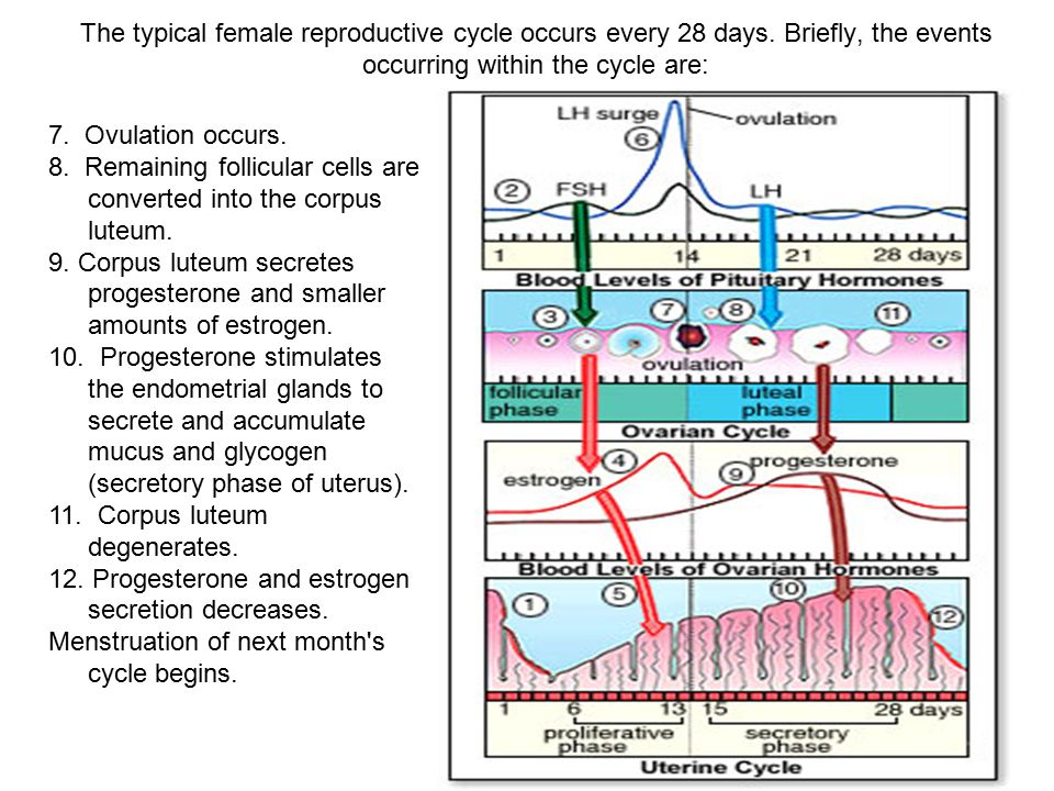 The typical female reproductive cycle occurs every 28 days