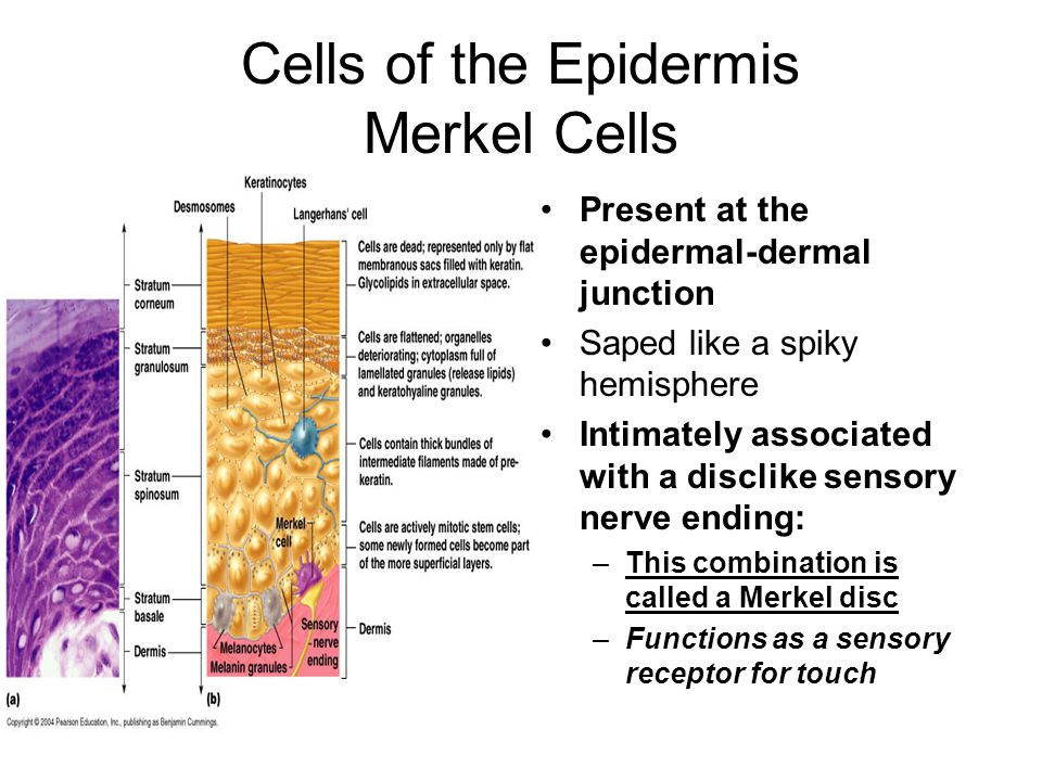 Cells of the Epidermis Merkel Cells