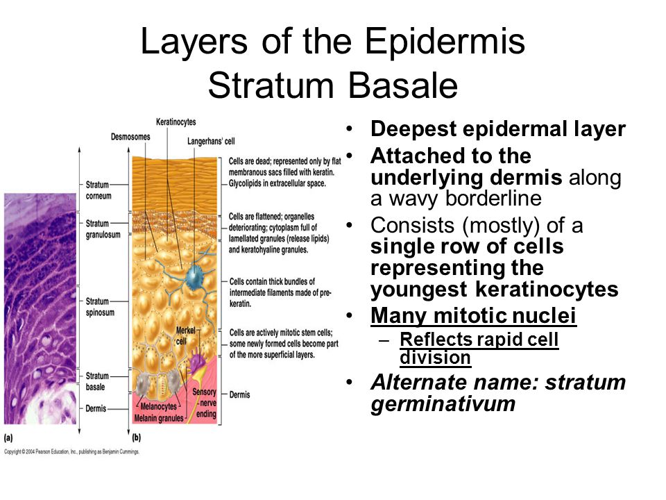 Layers of the Epidermis Stratum Basale