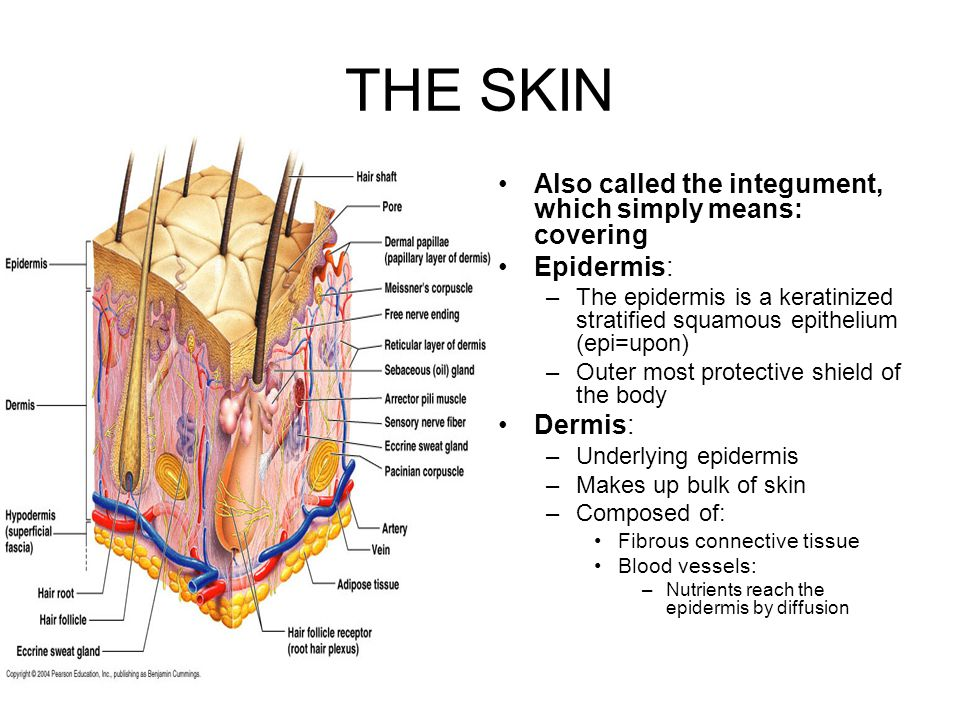 THE SKIN Also called the integument, which simply means: covering