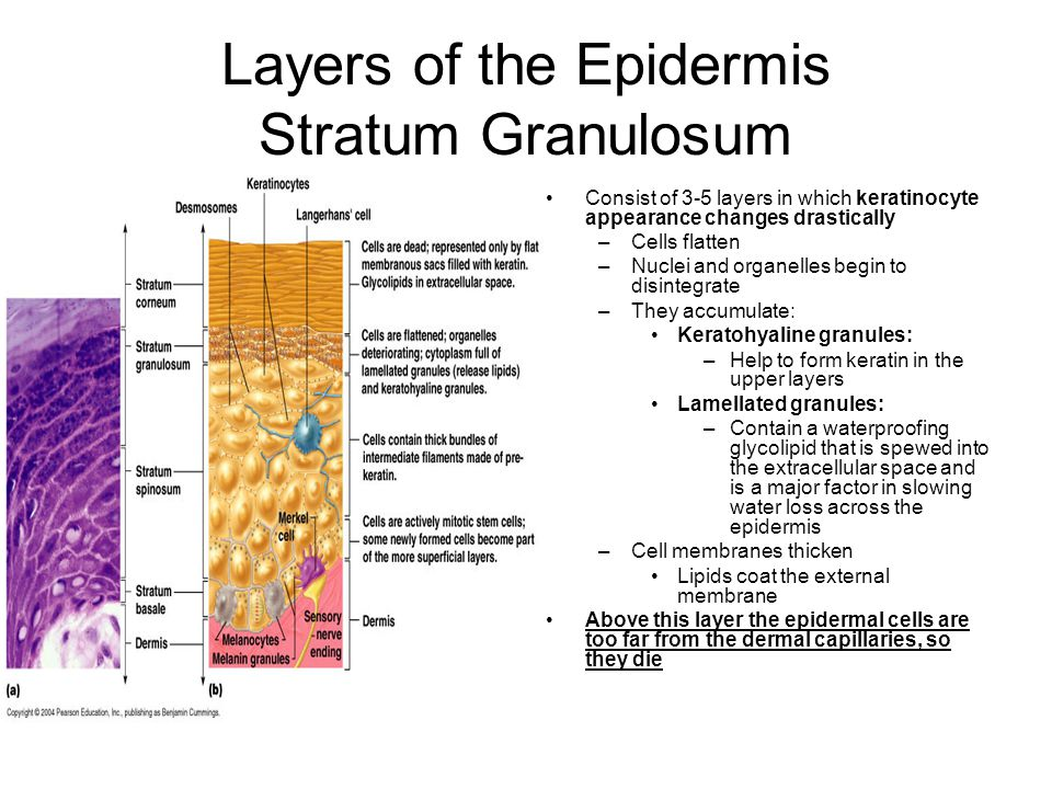 Layers of the Epidermis Stratum Granulosum