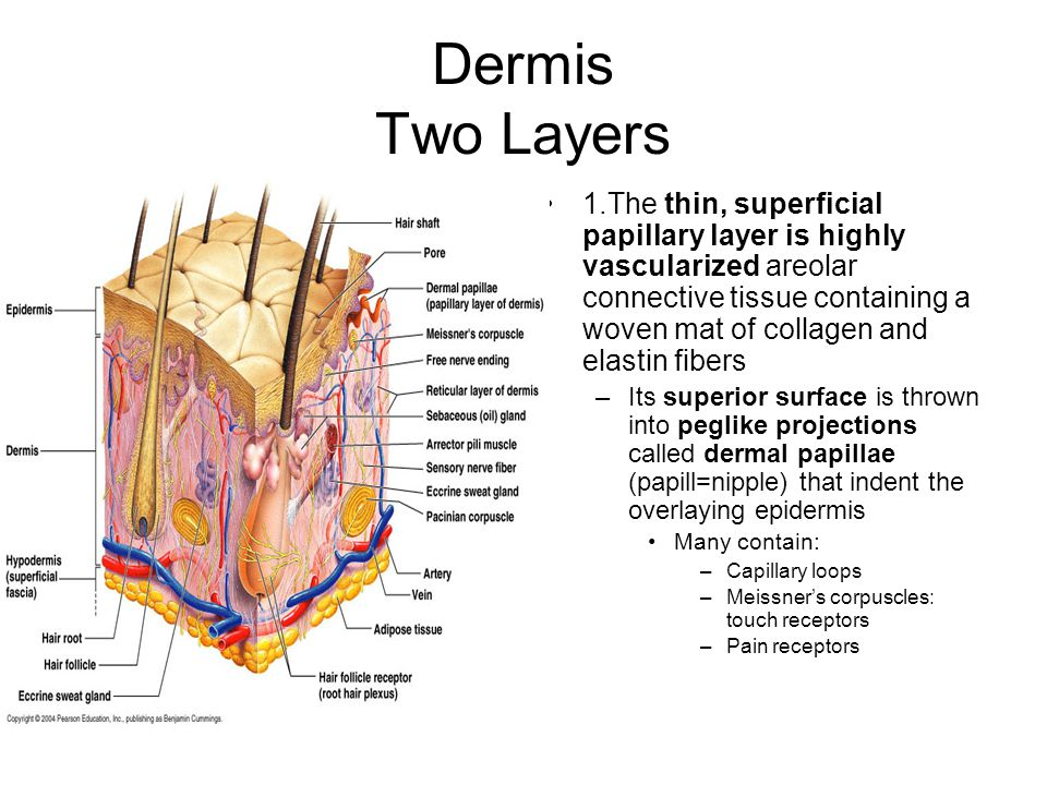 Dermis Two Layers