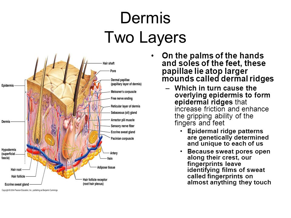 Dermis Two Layers On the palms of the hands and soles of the feet, these papillae lie atop larger mounds called dermal ridges.