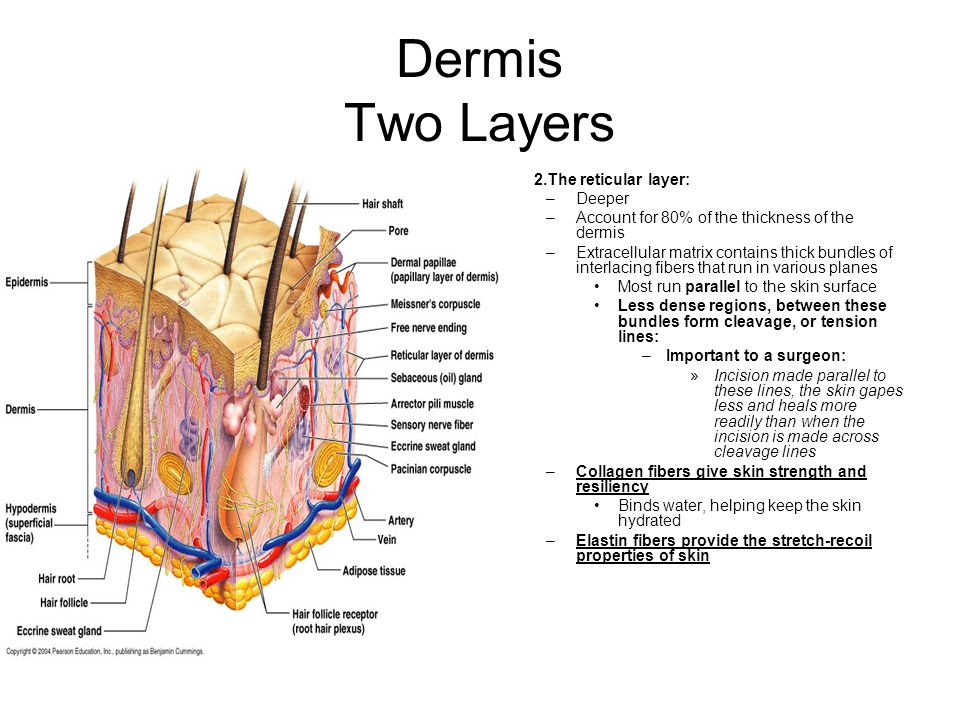 Dermis Two Layers 2.The reticular layer: Deeper