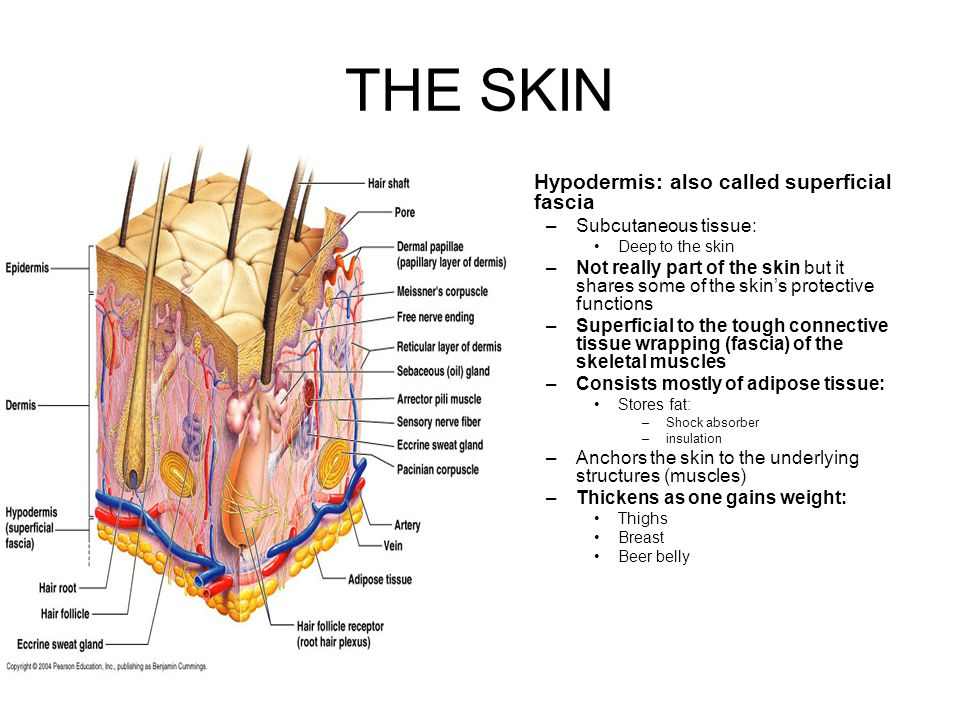 THE SKIN Hypodermis: also called superficial fascia