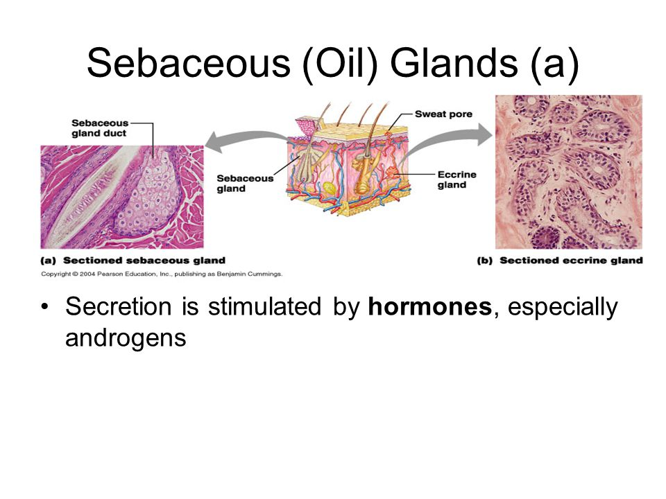 Sebaceous (Oil) Glands (a)