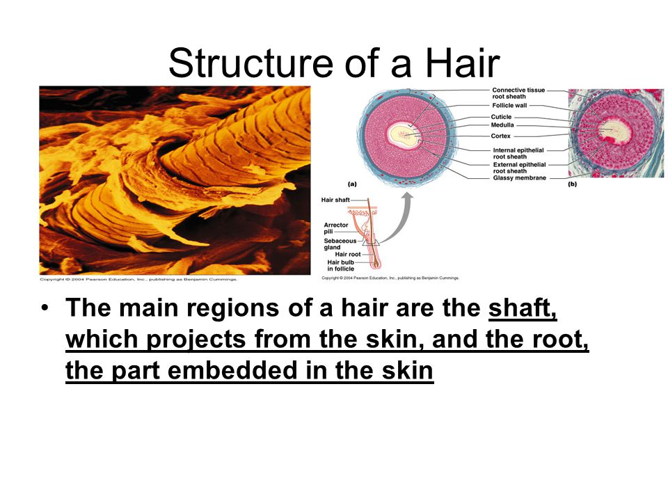 Structure of a Hair The main regions of a hair are the shaft, which projects from the skin, and the root, the part embedded in the skin.