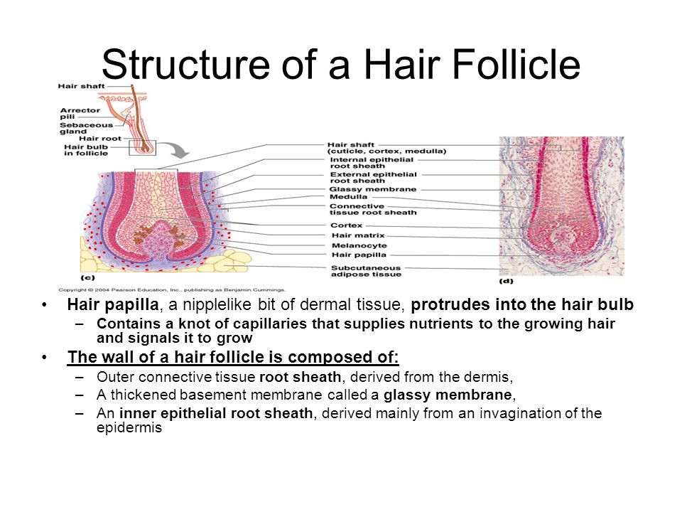 Structure of a Hair Follicle