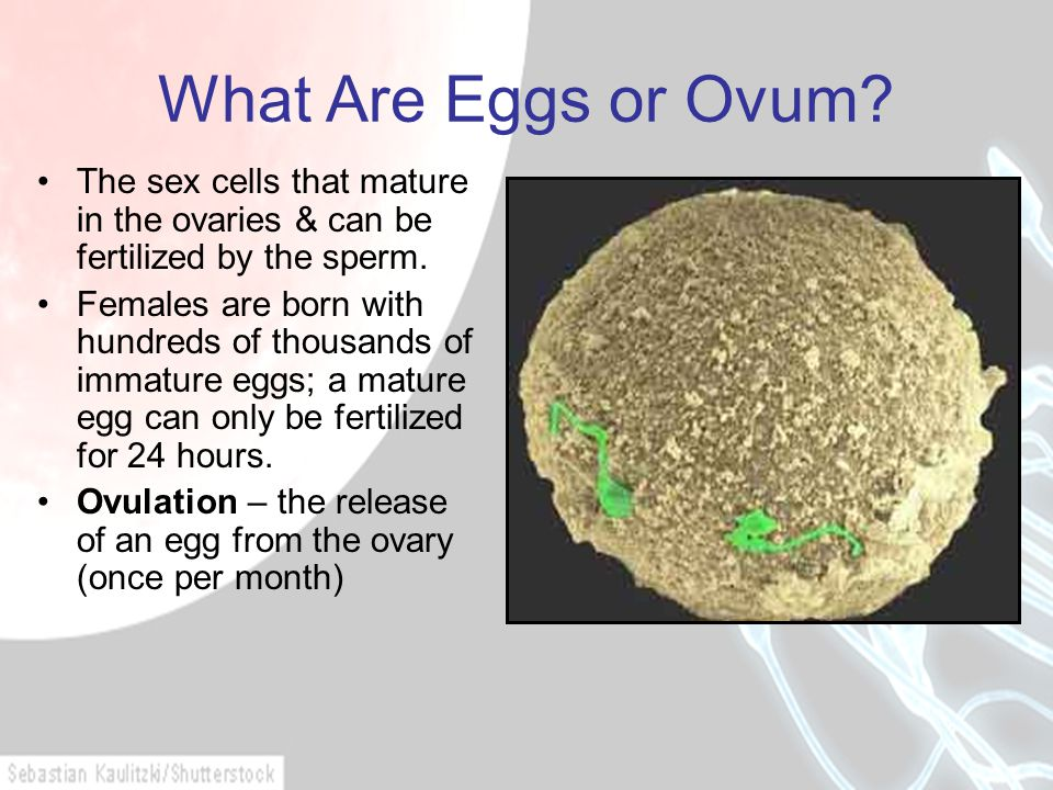 What Are Eggs or Ovum The sex cells that mature in the ovaries & can be fertilized by the sperm.