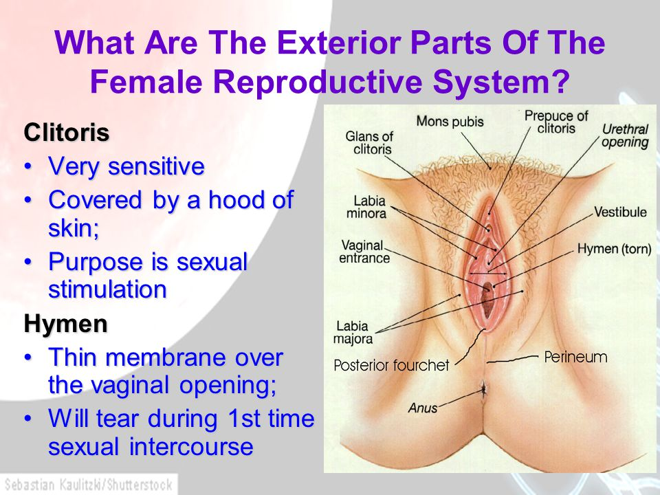 What Are The Exterior Parts Of The Female Reproductive System