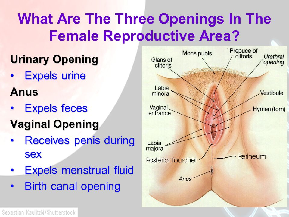 What Are The Three Openings In The Female Reproductive Area