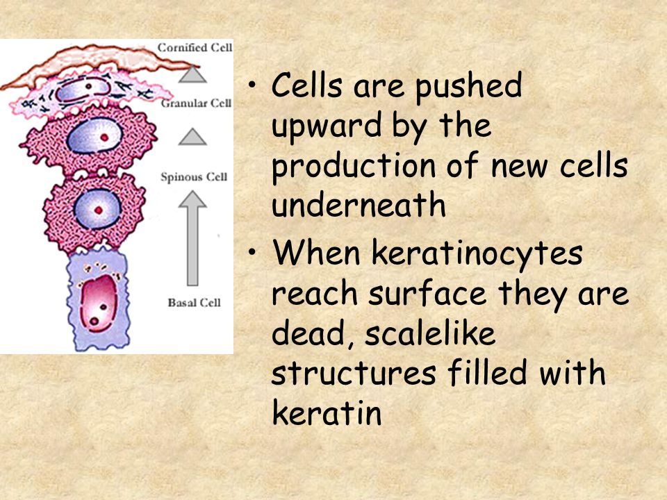 Cells are pushed upward by the production of new cells underneath