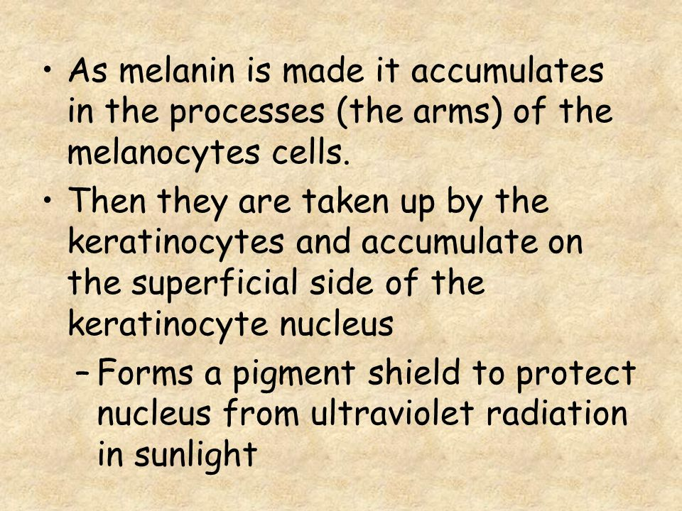 As melanin is made it accumulates in the processes (the arms) of the melanocytes cells.