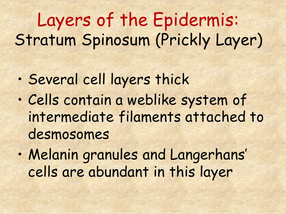 Layers of the Epidermis: Stratum Spinosum (Prickly Layer)