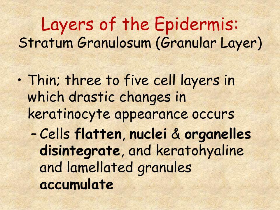 Layers of the Epidermis: Stratum Granulosum (Granular Layer)