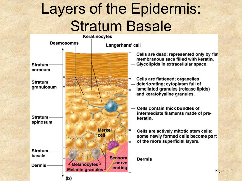 Layers of the Epidermis: Stratum Basale (Basal Layer)