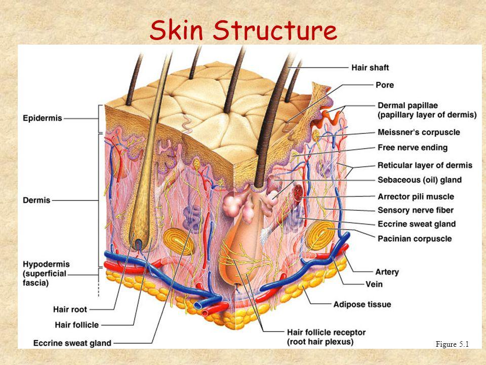 Skin Structure Figure 5.1