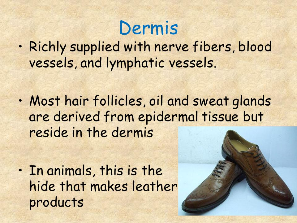 Dermis Richly supplied with nerve fibers, blood vessels, and lymphatic vessels.