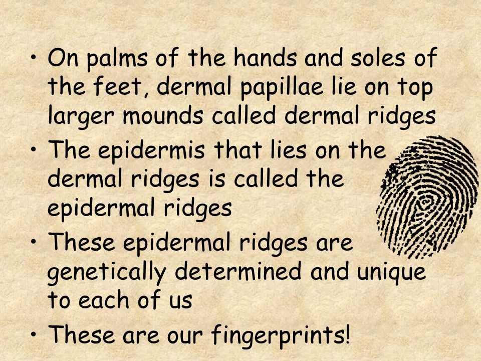 On palms of the hands and soles of the feet, dermal papillae lie on top larger mounds called dermal ridges