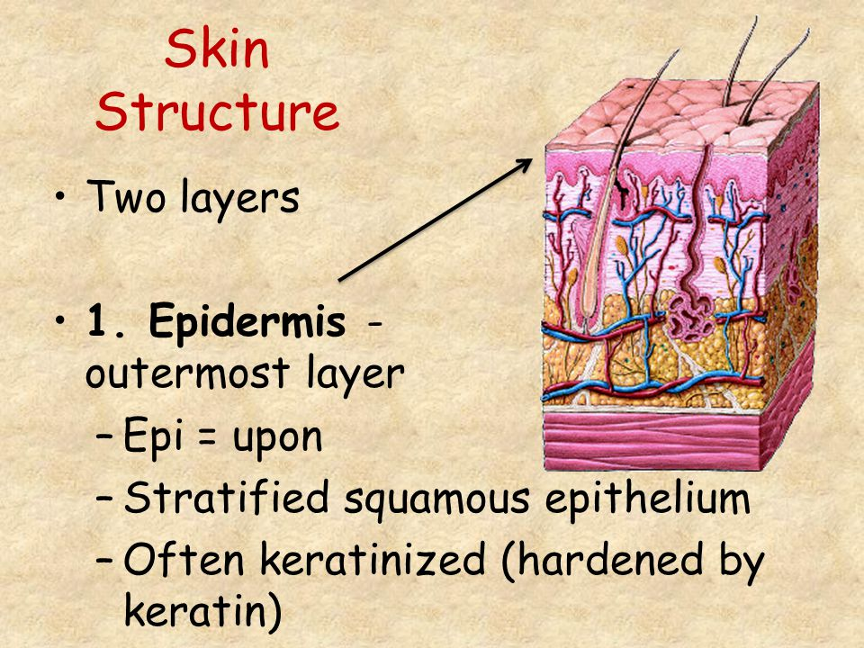 Skin Structure Two layers 1. Epidermis - outermost layer Epi = upon