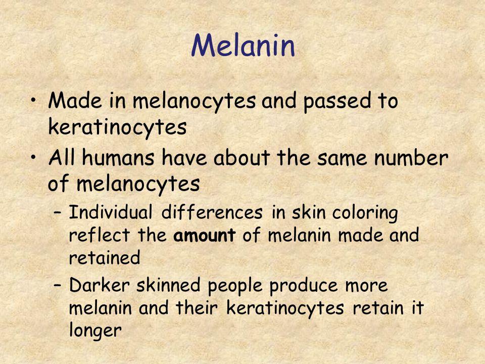 Melanin Made in melanocytes and passed to keratinocytes