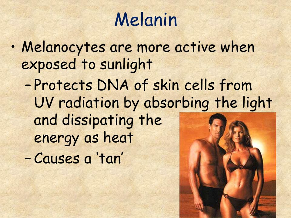 Melanin Melanocytes are more active when exposed to sunlight