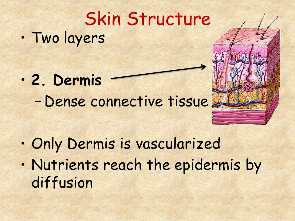 Skin Structure Two layers 2. Dermis Dense connective tissue
