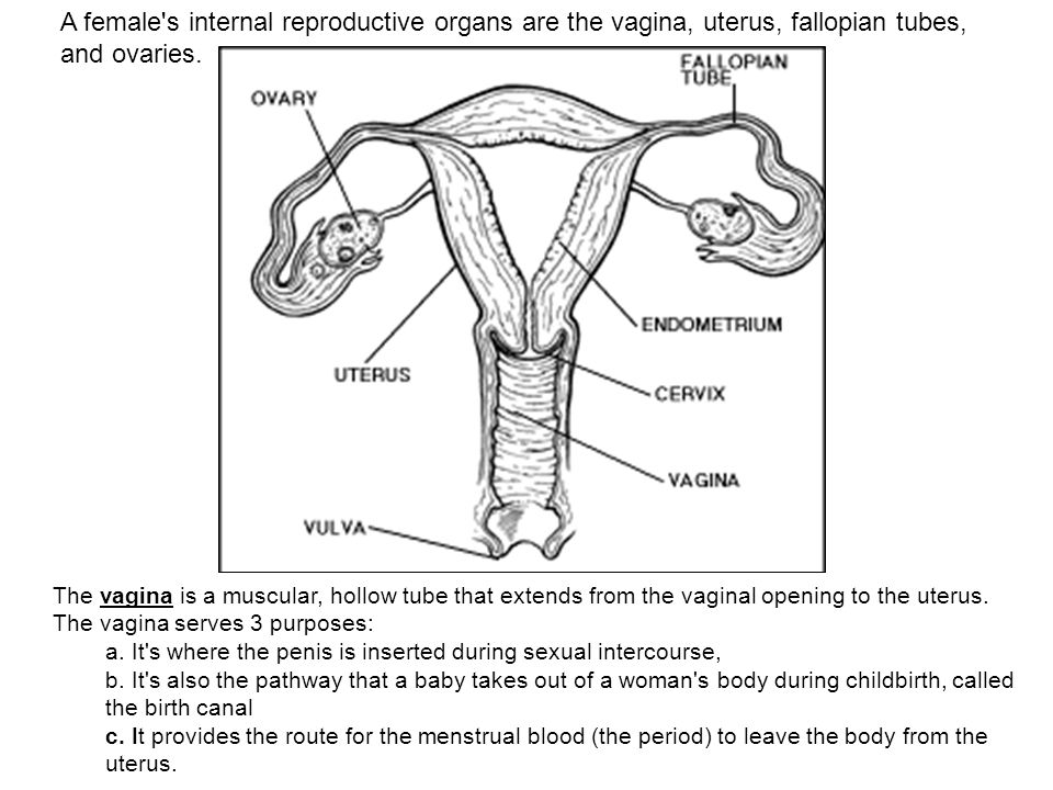 A Females Internal Reproductive Organs Are The Vagina Uterus