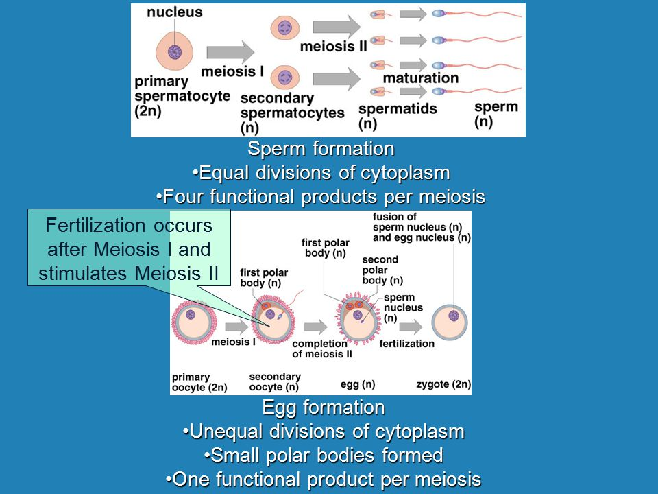 Equal divisions of cytoplasm Four functional products per meiosis