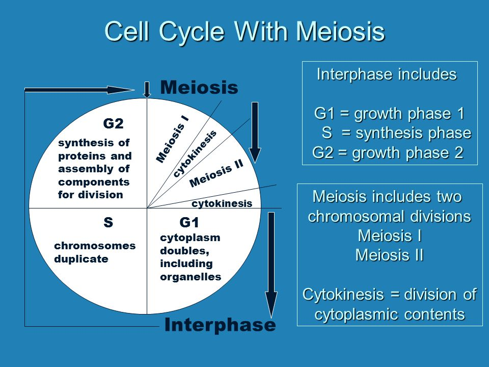 Cell Cycle With Meiosis
