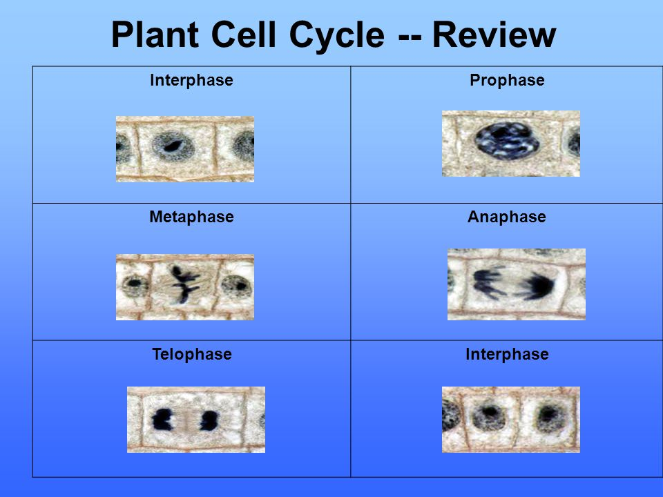 Plant Cell Cycle -- Review