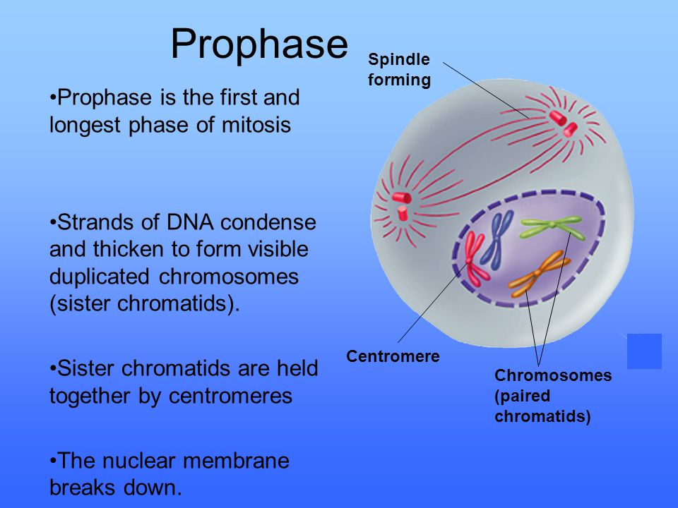 Prophase Prophase is the first and longest phase of mitosis
