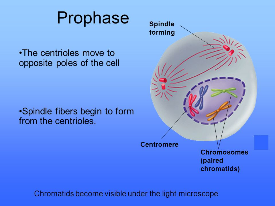 Prophase The centrioles move to opposite poles of the cell