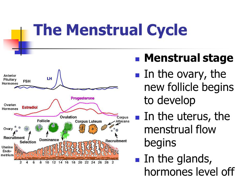 The Menstrual Cycle Menstrual stage