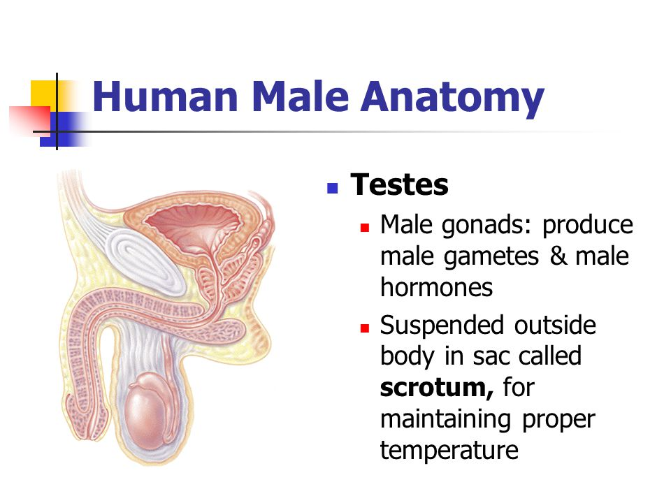 Human Male Anatomy Testes