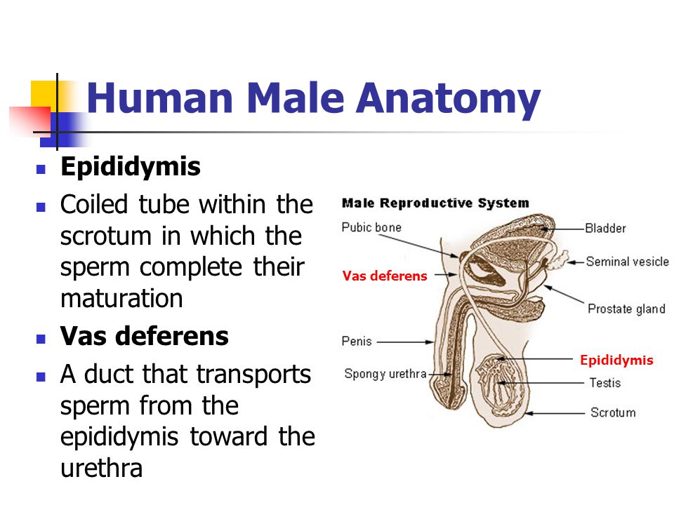 Human Male Anatomy Epididymis