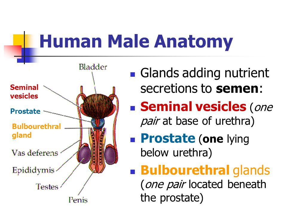 Human Male Anatomy Glands adding nutrient secretions to semen: