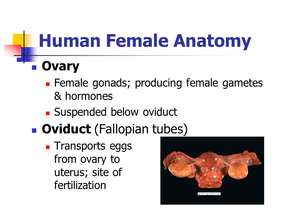Human Female Anatomy Ovary Oviduct (Fallopian tubes)